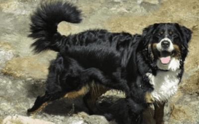 De kruising tussen een Berner Sennen en een Labrador