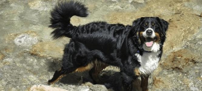 kruising berner sennen labrador