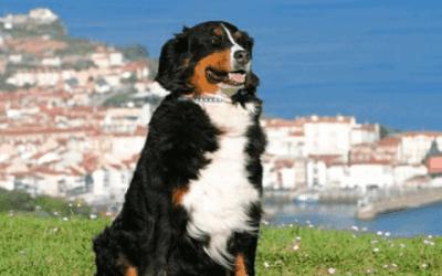 De prijs van een Berner Sennen puppy