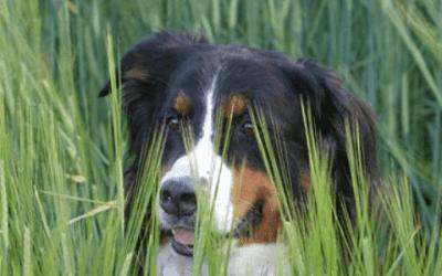 Een Berner Sennenhond kopen