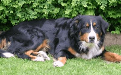 Een kortharige Berner Sennenhond
