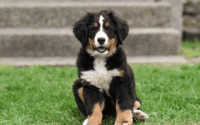 Hier moet je op letten bij een Berner Sennenhond fokker