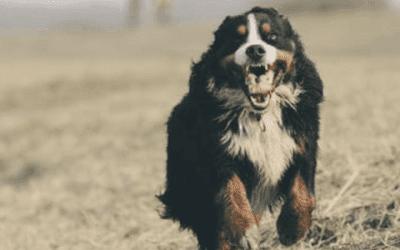 Het Berner Sennen karakter: alles wat je moet weten